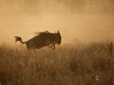 Tanzania, Serengeti; a Gnu Leaps Through the Grass Fotodruck von Niels Van Gijn