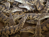 Namibia; Young Crocodiles at a Crocodile Farm Fotodruck von Niels Van Gijn