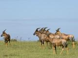 Kenya, Masai Mara; a Herd of Topi Photographic Print by John Warburton-lee