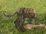 Kenya, Masai Mara; a Female Cheetah Plays with Her Cub Photographic Print by John Warburton-lee