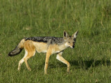 Kenya, Masai Mara; a Black-Backed Jackal Makes its Way across the Plains Photographie par John Warburton-lee