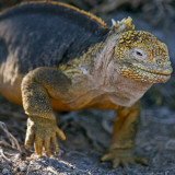 Galapagos Islands, a Land Iguana on South Plaza Island Reproduction photographique par Nigel Pavitt