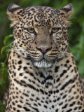 A Fine Leopard Oblivious to Light Rain in the Salient of the Aberdare National Park Lámina fotográfica por Nigel Pavitt