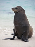 Galapagos Islands, a Galapagos Sea Lion on the Sandy Beach of Espanola Island Photographic Print by Nigel Pavitt