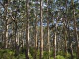 Australia, Western Australia, Leeuwin-Naturaliste National Park, Boranup Photographic Print by Andrew Watson