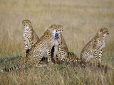 A Cheetah Family on the Grassy Plains of Masai Mara National Reserve Photographic Print by Nigel Pavitt