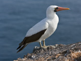 Galapagos Islands, a Nazca Booby on the Lava Cliffs of Genovese Island Photographie par Nigel Pavitt