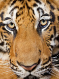 Portrait, Indochinese Tiger or Corbett's Tiger (Panthera Tigris Corbetti), Thailand Photographic Print by Peter Adams