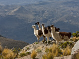 Peru, Llamas in the Bleak Altiplano of the High Andes Near Colca Canyon Fotografisk tryk af Nigel Pavitt