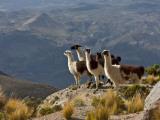Peru, Llamas in the Bleak Altiplano of the High Andes Near Colca Canyon Reprodukcja zdjęcia autor Nigel Pavitt