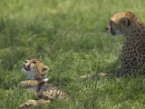 Kenya, Masai Mara; a Cheetah Cub Remains Watchful Even When Lying in the Shade Photographic Print by John Warburton-lee