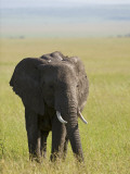 Kenya, Masai Mara; Elephant Out on the Plains Photographic Print by John Warburton-lee