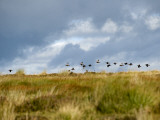 Uk; Yorkshire; a Covey of Grouse Fly Low and Fast over the Heather on Bingley and Ilkley Moor Photographic Print by John Warburton-lee