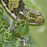 A Female Two-Horned Chameleon in the Amani Nature Reserve Reproduction photographique par Nigel Pavitt