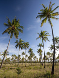 Mozambique, Tofo; Coconut Plantations around Tofo Photographic Print by Niels Van Gijn