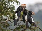Silvery-Cheeked Hornbills in the Western Arc of the Usambara Mountains Near Lushoto Photographie par Nigel Pavitt