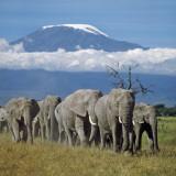 A Herd of Elephants with Mount Kilimanjaro in the Background Fotografie-Druck von Nigel Pavitt