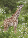 A Young Maasai Giraffe in Kenya S Tsavo West National Park Photographic Print by Nigel Pavitt