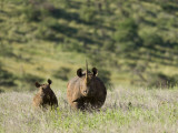 Kenya, Laikipia, Lewa Downs; a Mother and Calf Black Rhinoceros Photographic Print by John Warburton-lee