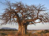 A Large Baobab Tree Growing on the Banks of the Great Ruaha River in Ruaha National Park; Photographic Print by Nigel Pavitt