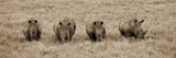 Kenya, Laikipia, Lewa Downs; a Group of White Rhinoceros Feed Together Fotoprint van John Warburton-lee