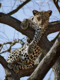 A Leopard Gazes Intently from a Comfortable Perch in a Tree in Samburu National Reserve Photographic Print by Nigel Pavitt