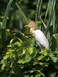 India, Ranganathittu Bird Sanctuary; a Cattle Egret in Breeding Plumage Fotografie-Druck von Niels Van Gijn
