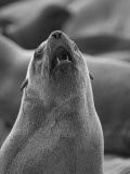 Namibia, a Barking Cape Fur Seal; One of a Colony of Thousands Fotografie-Druck von Niels Van Gijn