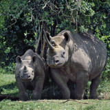 A Black Rhino and Calf in the Aberdare Natrional Park Photographic Print by Nigel Pavitt