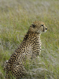 Kenya, Laikipia, Lewa Downs; Male Cheetah Photographic Print by John Warburton-lee