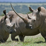 A Family of White Rhinos, the Female with a Massive Horn; Mweiga, Solio, Kenya Photographic Print by Nigel Pavitt
