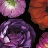 Ranunculus II Left Posters par Pip Bloomfield