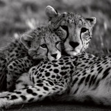 Cheetah with Cub Prints by Danita Delimont