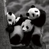Panda's Poster van Danita Delimont