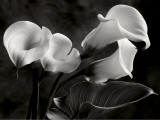 Calla Lilies No. 1 Poster af Sondra Wampler