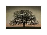 Majestic Oak Giclée-tryk af David Winston