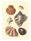 Seashells Print