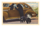 Bears at Car, Great Smoky Mountains Posters