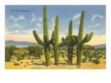 'The Four Horsemen', Saguaro Cacti Poster