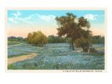 Field of Bluebonnets, Texas Plakát