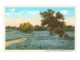 Field of Bluebonnets, Texas Prints