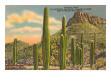 Gruppen von Saguaro-Kakteen Kunstdrucke
