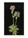 Geranium, Yellowstone National Park Prints