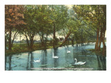 Swans in Brackenridge Park, San Antonio, Texas Prints