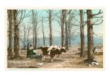 Oxen at Maple Sugar Camp, Vermont Prints