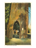 Largest Cedar near Snohomish, Washington Prints