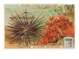 Aquatic Fauna, Sea Urchin Posters