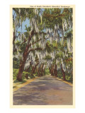 Country Road with Spanish Moss, South Carolina Posters