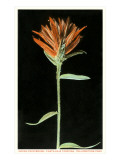 Indian Paintbrush, Yellowstone National Park Posters