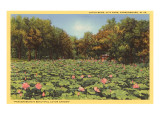 Lotus Beds, Parkersburg, West Virginia Posters